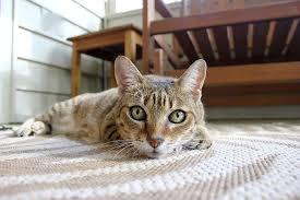 Les 10 races de chat les plus prisées par les familles françaises